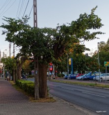 P8290476_rzeź drzew-001