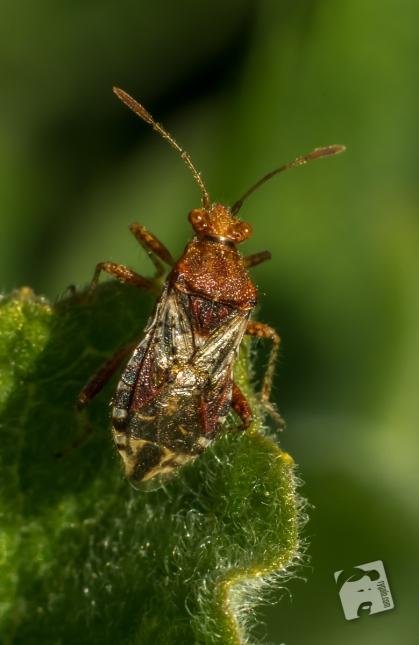 owady-4468