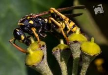 wasp-8598